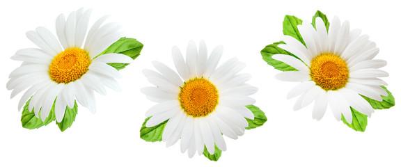 Photo sur Plexiglas Marguerites Daisy flower isolated on white background as package design element