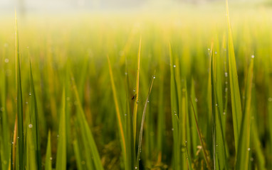 Blurred soft images of Dew water on top of rice leaves with the morning sun, to green nature background.