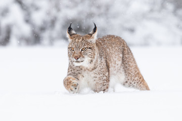 Wall Murals Lynx Young Eurasian lynx on snow. Amazing animal, walking freely on snow covered meadow on cold day. Beautiful natural shot in original and natural location. Cute cub yet dangerous and endangered predator.