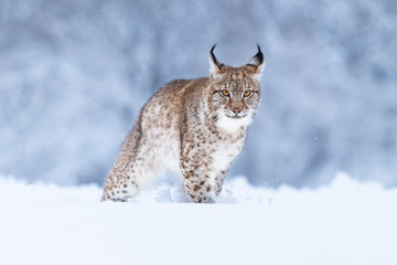 Photo on textile frame Lynx Young Eurasian lynx on snow. Amazing animal, walking freely on snow covered meadow on cold day. Beautiful natural shot in original and natural location. Cute cub yet dangerous and endangered predator.
