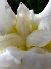 Iris o Giaggiolo