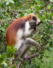 A monkey is sitting on the branch of a tree. Kirk's red colobus. Africa, Zanzibar. Endemic species..