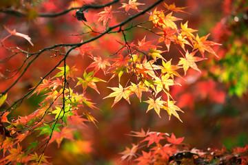 Colorful japanese maple leaves during momiji season at Kinkakuji garden, Kyoto, Japan