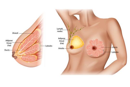 Anatomy of the female breast.