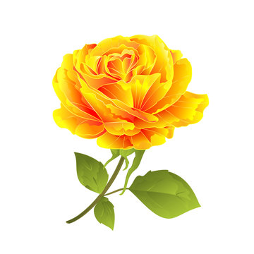 Flower yellow rose on a white background twig with leaves  vintage vector illustration editable hand draw