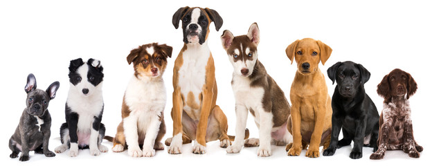 Group of purebreed puppies isolated on white background