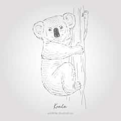 Vector hand drawn sketch of Koala bear on tree. Australian animal illustration.