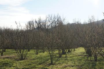 Hazelnut trees in winter