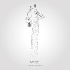Realistic hand drawn vector sketch of giraffe head.