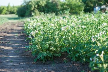 potato bushes grow