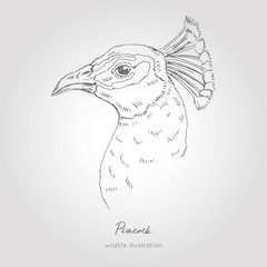 Peacock hand drawn profile portrait. Vector illustration. Realistic sketch.