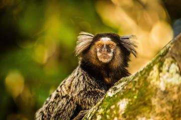 Mico no Bosque da Barra