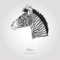 Realistic hand drawn vector sketch of zebra head profile view.