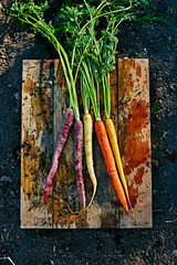 fresh picked, multi colored carrots on wooden crate