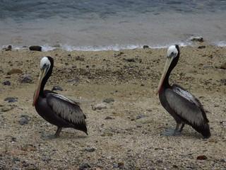 Couple of pelican.