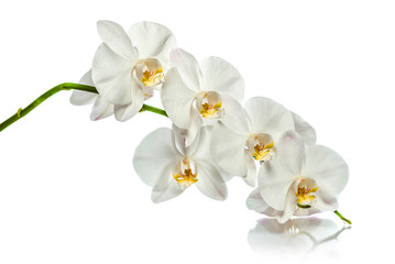 Orchid. A branch of white orchids. Greeting card. Beautiful composition. Isolate on white...
