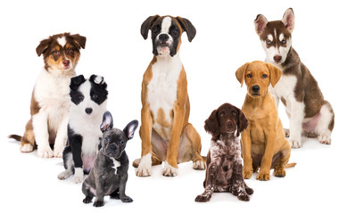 Group of puppies isolated on white background