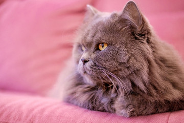 Muzzle of gray big long-haired British cat lies on a pink sofa. Concept weight gain during the New Year holidays, obesity, diet for the cat. Offended face cute Fold British..