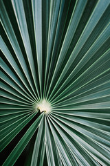 Striped of palm leaf, green texture background