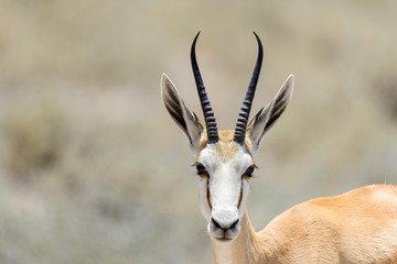 Wild springbok antelope portrait in the African savanna close up