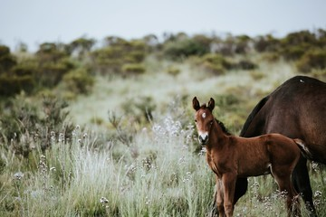 A pretty black foal stands in a paddock with its mother. foal st