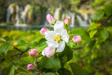 Beautiful spring flowers blooming in front of pure water, turquoise cascades, Plitvice Lakes National Park, Croatia