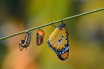 Poster Butterfly Amazing moment ,Monarch butterfly and caterpillar and chrysalis