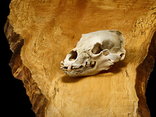 Bear Skull on a wood slab and black background