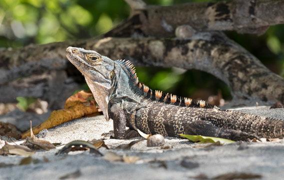 Black spiny-tailed iguana (Ctenosaura similis) close up, Manuel Antonio National Park, Puntarenas, Costa Rica