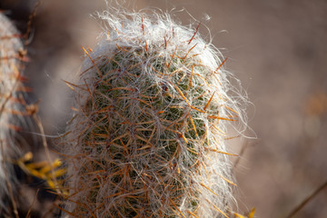 Old Man Cactus Spines