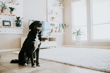 Happy dog in living room of modern home