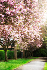 Pink Cherry Trees in Bloom in Park during Spring