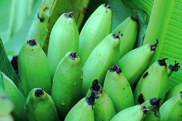 Bunch of green unripe bananas on a banana tree.