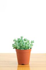 Mini Crassula Succulent Flowering Plants Indoor Houseplant Pot on Table Top White Background