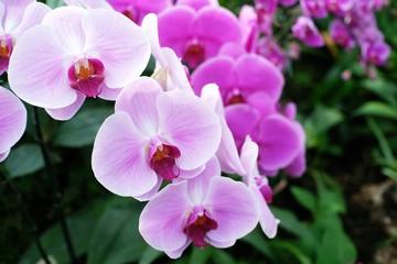 Orchid flower in garden.