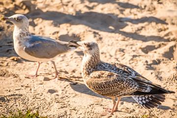 herring gull on a beach of the Baltic sea