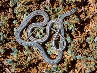 Karoo Sand Snake (Psammophis notostictus) in bushes