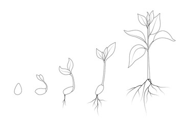 Evolution from seed to sapling. Kidney bean plant growth phases