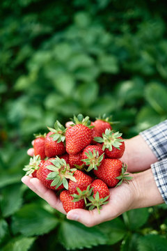 Woman hands holding freshly picked strawberries in garden, copy space. Handful of ripe red strawberry on green leaves background. Healthy food concept