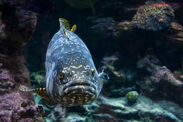 Giant malabar grouper fish