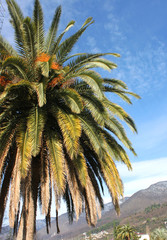 Date palm crown