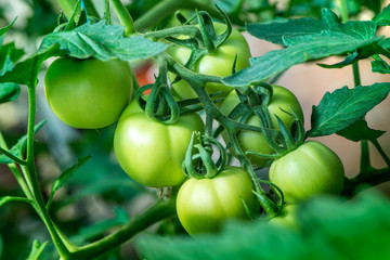 Macro shot of group of unripe tomatoes in a greenhouse on a sunny summer day