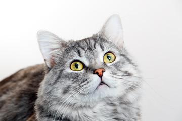 Funny large longhair gray tabby cute kitten with beautiful yellow eyes. Pets concept. Lovely fluffy cat on grey background.