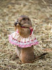 Prairie dog cute pet.