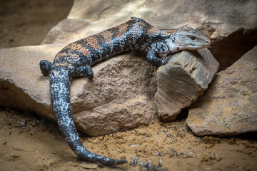 Blue-tongued skink, Blue-tongued lizard resting on a rock.