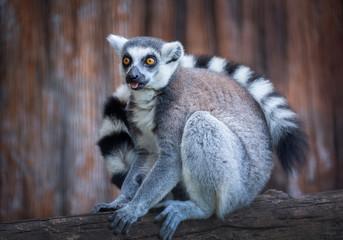 Lemur (Ring- tailed Lemur) is sitting on a log.
