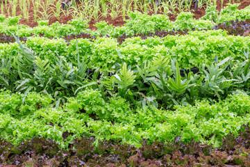 Organic vegetable growing field.