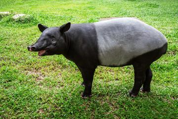 Tapir standing resting on the grass green.