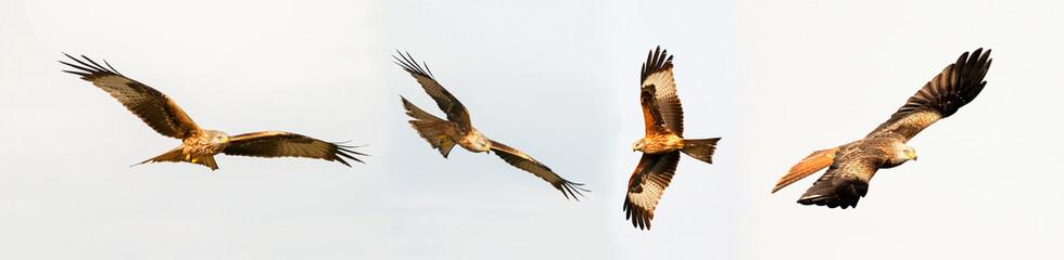 Awesome birds of prey in fligh Fototapete
