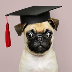 Cute Pug puppy in a graduation cap